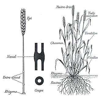 Détail de la plante
